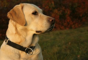 Allergen Detection Service Dog
